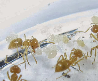 Acropyga ants and their aphids