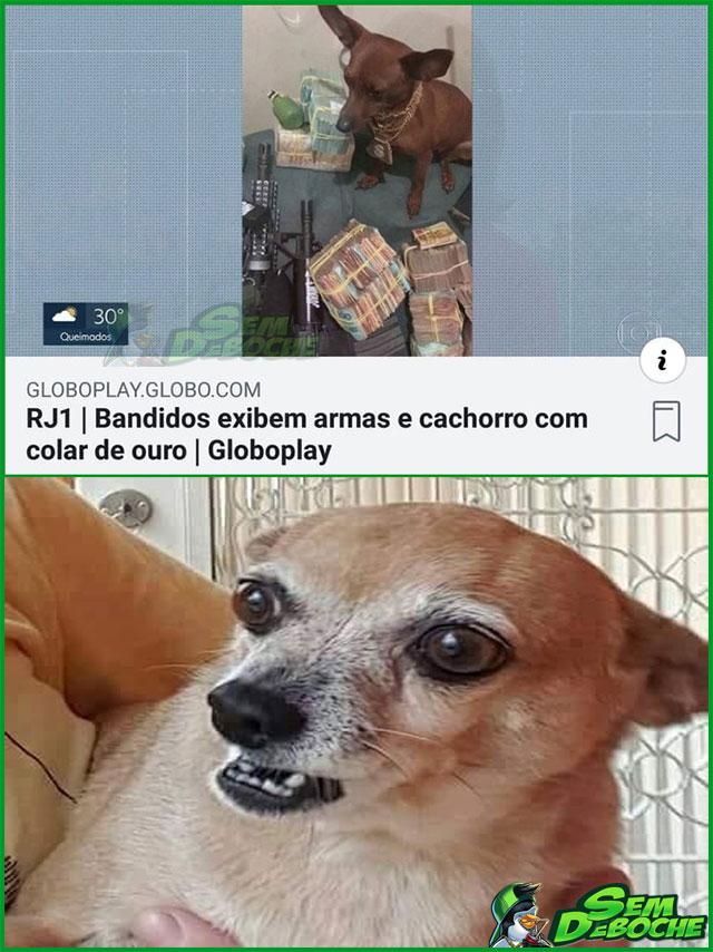 UM PINSCHER BEM TREINADO É COMO UMA ARMA