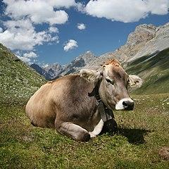 Different Improved breeds of Indian cattle on Nikhiljob