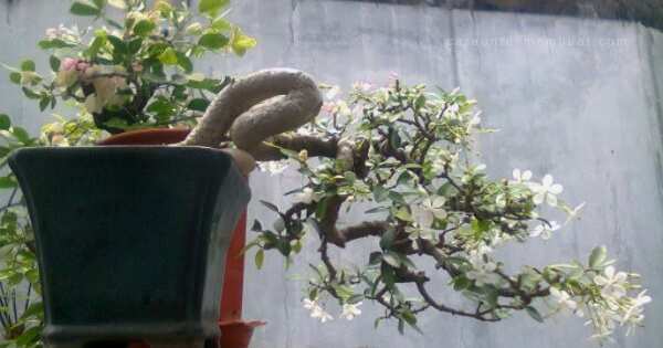 Ciri Ciri Pohon Anting Putri Di Alam Liar
