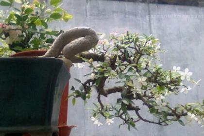 Ciri Ciri Pohon Anting Putri (Anput) Di Alam Liar