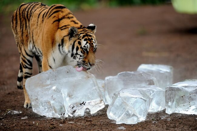25 Thrilling Images That Made Our Day - A tiger who loves to lick ice cubes