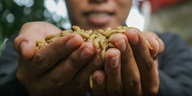 Cara Budidaya Maggot Untuk Pakan Ikan atau Pakan Ternak