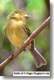 Yellow-brested Flycatcher (Tolmomyias flaviventris)