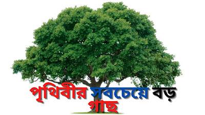 পৃথিবীর সবচেয়ে বড় গাছ .Prithibite Sob Cheye Boro Gach list.Biggest tree in Eart.
