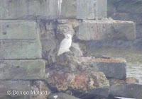 Snowy Owl, adult – Old Hillsborough Bridge, Charlottetown, PEI – © Denise Motard