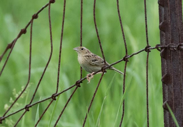 Grasshopper Sparrow - Sharonville SGA, Michigan, USA