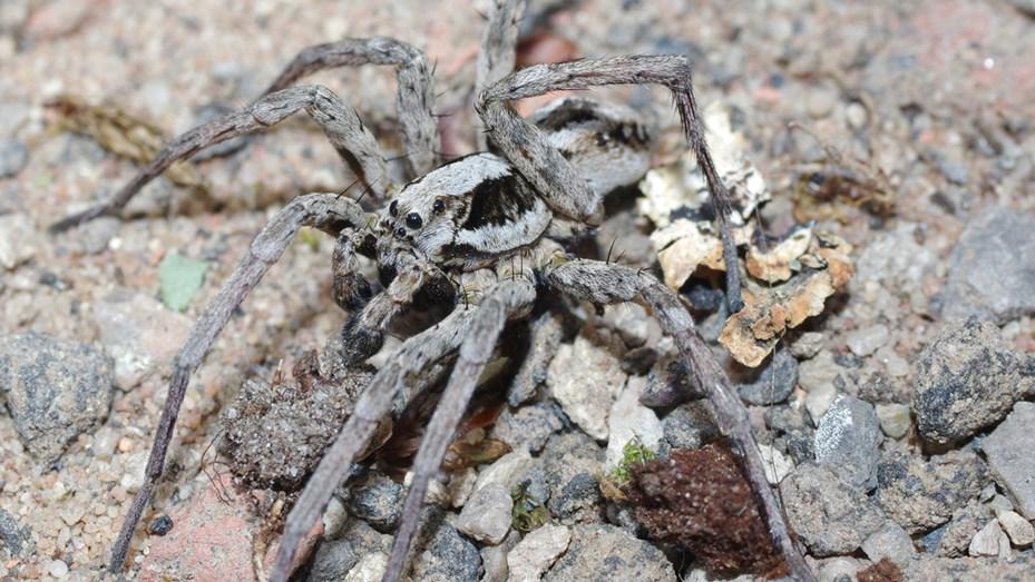 Hallaron araña que creían extinta y disuelve los órganos internos de sus víctimas.