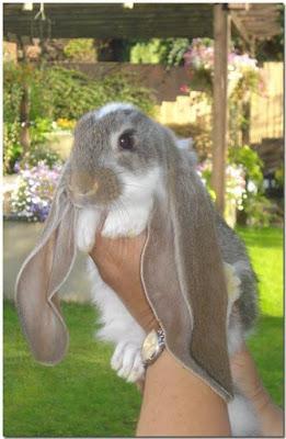 english lop rabbit cute face
