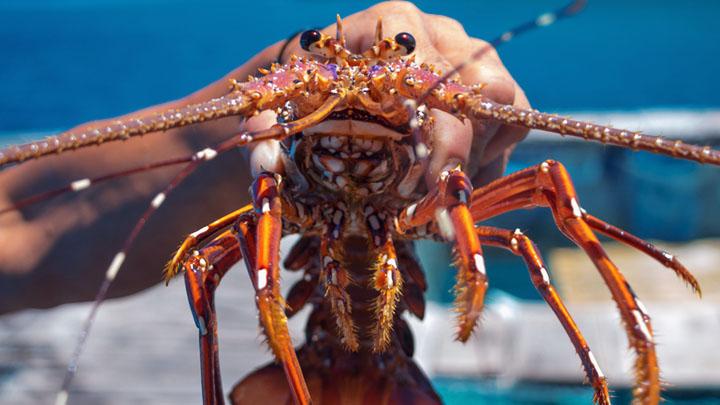 Lobster Roaches ( Nauphoeta cinerea )