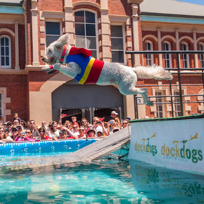 Groodle in a Superman costume leaps into the pool during DockDogs competition in Moore Park