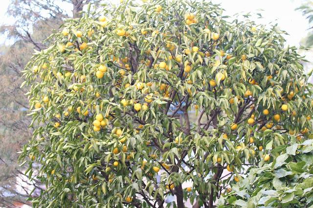 都筑区正覚寺の大きな柚子の木