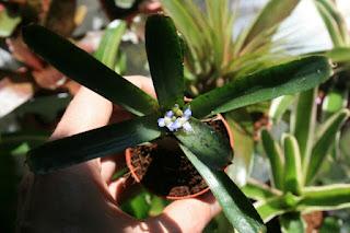 neoregelia ampullacea purpurea flor