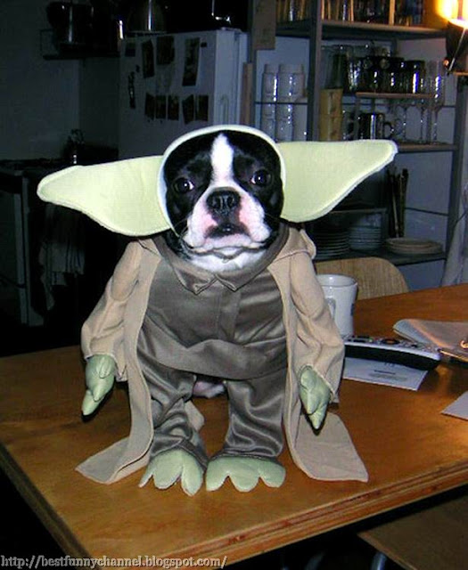 Funny dog in costume Yoda.