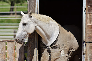 White horse wearing a brown turnout rug walking out of a stable.