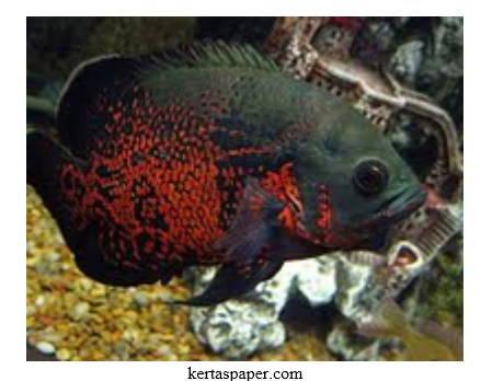 Ini Dia Jenis Ikan Oscar, Cara Merawatya, Serta Harganya yang Sangat Murah
