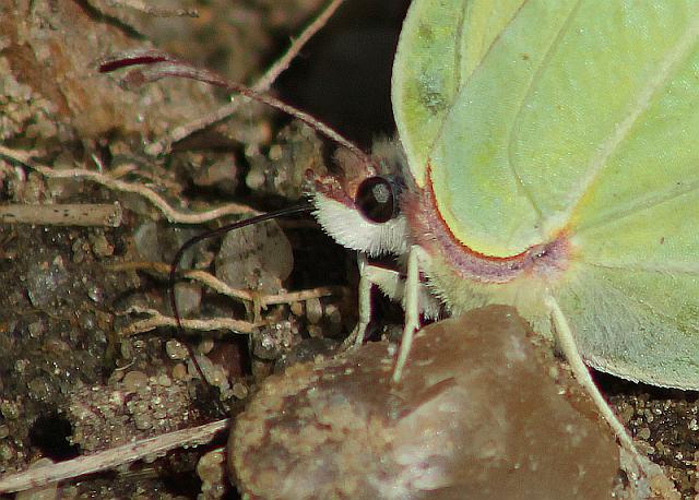 Gonepteryx rhamni, Zitronenfalter