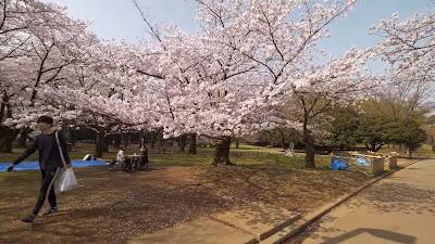 Rambalac - Morning Yoyogi park ohanami
