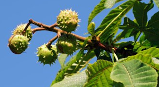 https://fr.wikipedia.org/wiki/Aesculus_hippocastanum