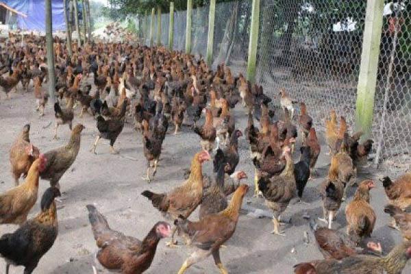 Penghasilan 12 Juta | Usaha Ternak Ayam Kampung Modal Kecil - AnalisaUsaha.id