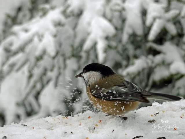 Black-capped Chickadee Photos