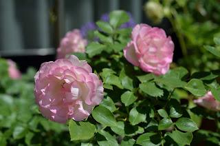 ピンクのバラを正面から