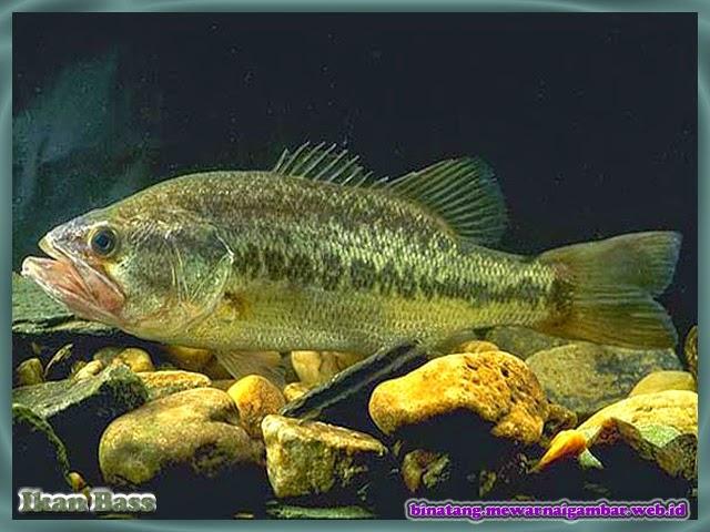 gambar ikan bass