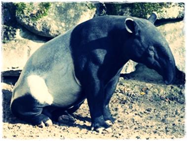 Ciri-ciri tapir