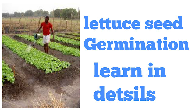 Lettuce seed germination