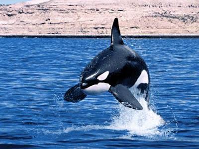 Imagenes de  orcas saltando sobre el mar