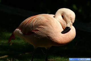 Flamant - Phoenicopterus - Phoeniconaias - Phoenicoparrus