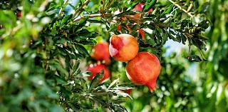 Anar-Pomegranates