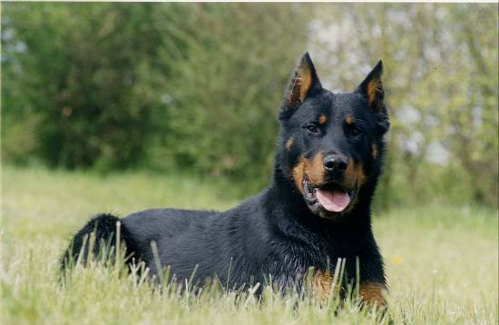 Beauceron | The Life of Animals