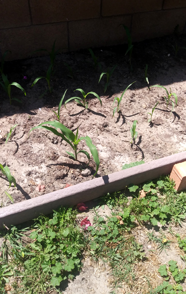 A snapshot of the corn that my Mom is growing in the backyard...on May 8, 2021.