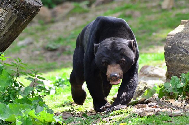 اكبر انواع الدببة في العالم