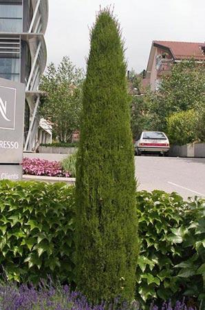 cupressus sempervirens cipres plantas en valladolid jardines fito. Black Bedroom Furniture Sets. Home Design Ideas