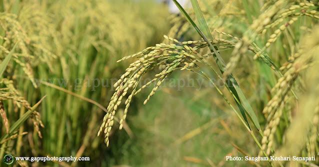 Dhana Penda - Peddy Field