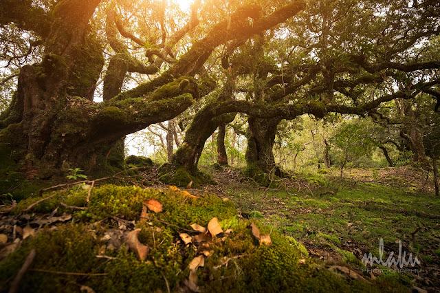 Pohon Santigi di hutan bonsai gunung Mutis