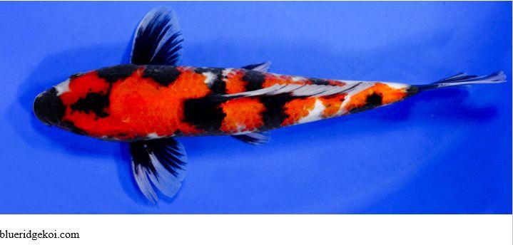 Gambar  Ikan Koi Showa Sanshoku