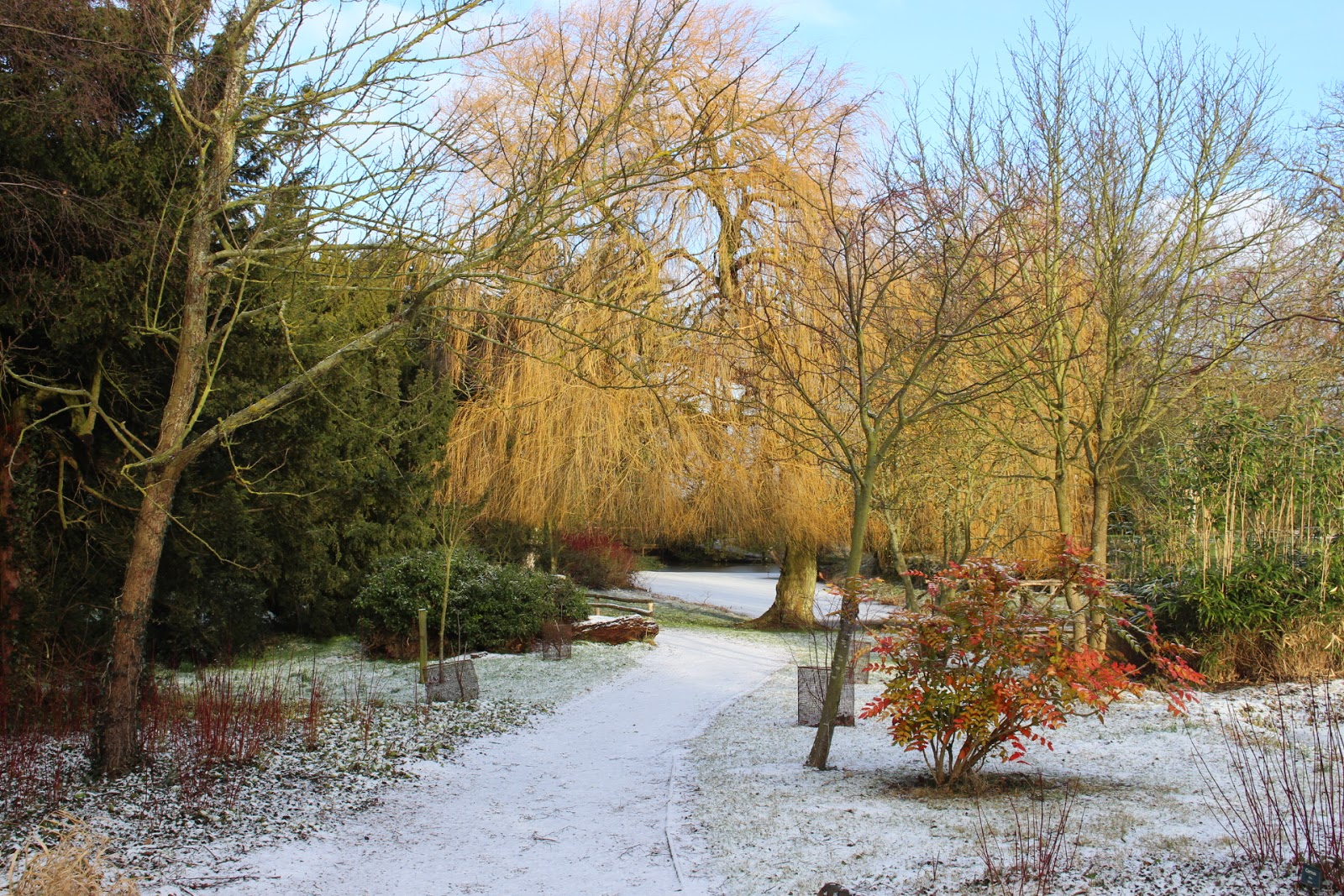 Winter Gardens - willow tree at Hodsock Priory