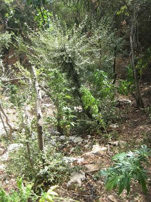 Εντοπίστηκε φυτεία με 42 δενδρύλλια κάνναβης (+ΦΩΤΟ)