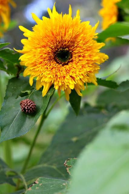 sunflower, homegrown, garden, flower, farm,athomewithjemma