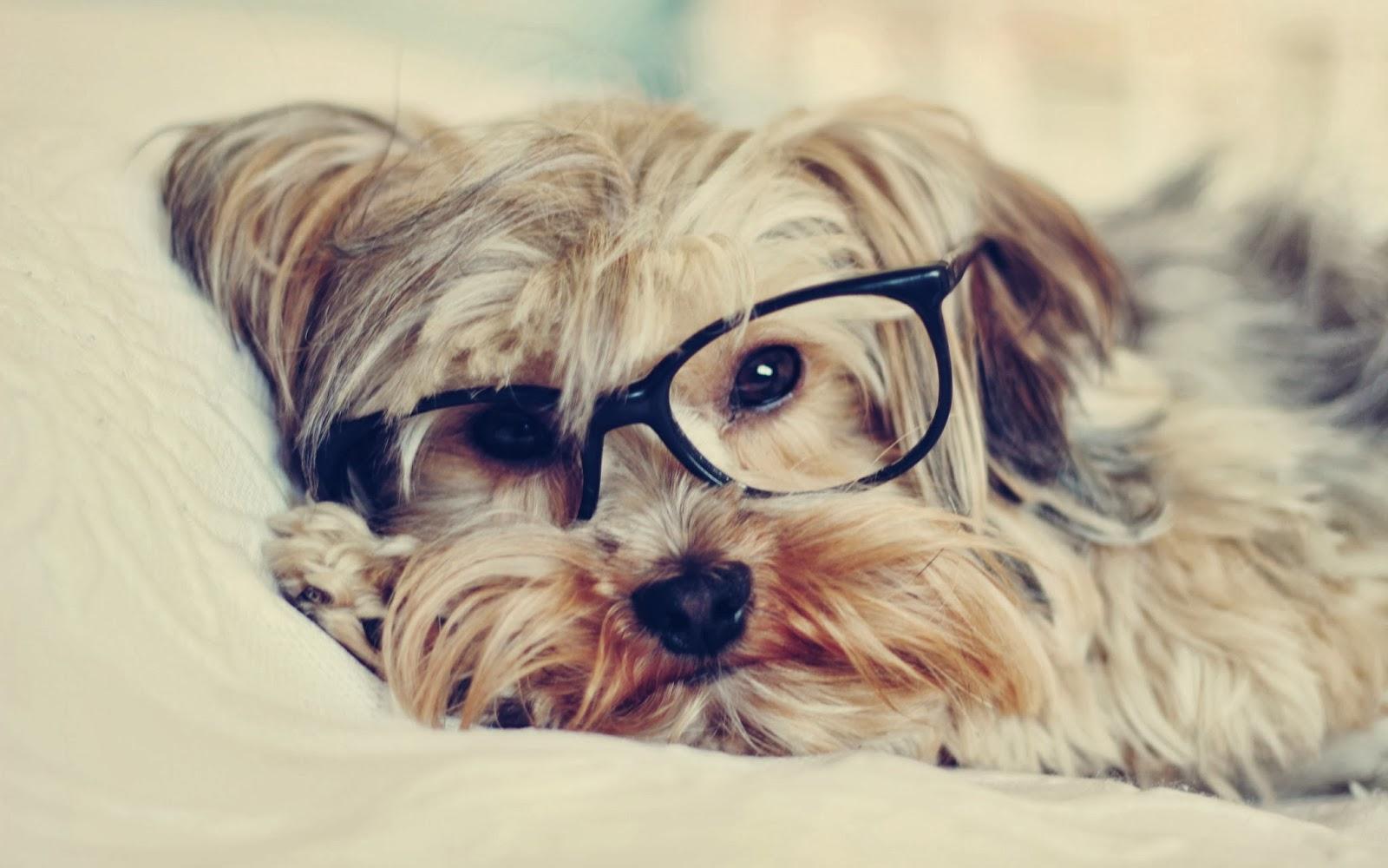 lucu-anjing-dengan-kacamata-foto-wallpaper-2560x1600