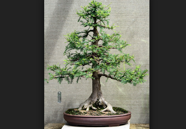Bonsai Cypress best picture