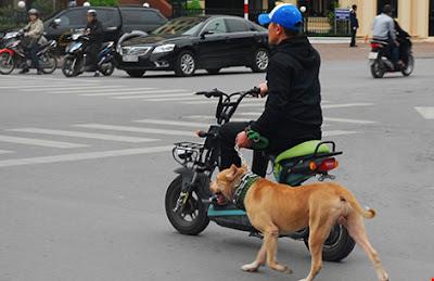 Ngoài việc tiêm phòng ngừa dại bắt buộc, chó dữ phải được rọ mõm khi dắt nơi công cộng