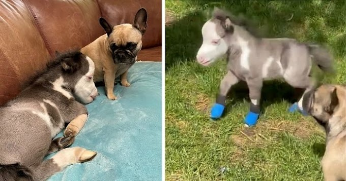 Orphaned miniature horse finds comfort in friendly dogs, after losing his mom