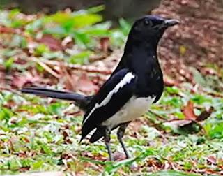 Burung kacer merupakan salah satu jenis burung kicau yang punya banyak penggemar Mengatasi kacer takut bunyi ketika di dekati