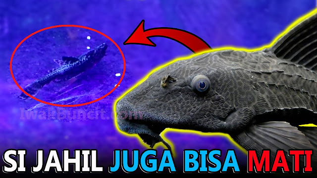Ikan Sapu Jagat Mati di Aquarium Ikan Mas Koki? Mungkin 2 Ini Penyebab Utamanya