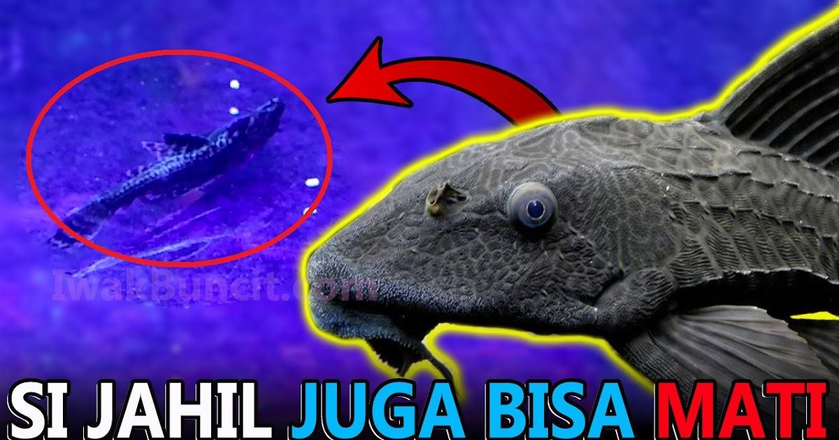 Ikan Sapu Jagat Mati Di Aquarium Ikan Mas Koki Mungkin 2 Ini Penyebab Utamanya