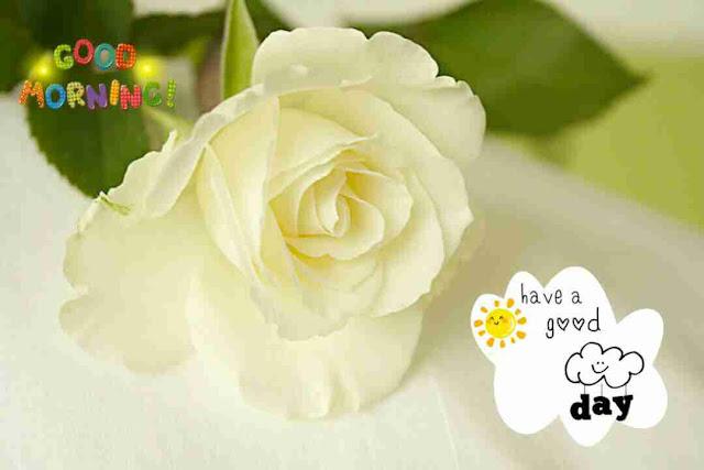 Beautiful good morning image with white rose